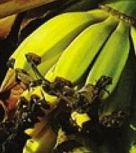 Banane dalla pianta di Angelo Savoldelli